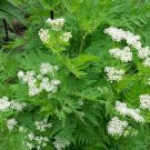 HEIRLOOM NON GMO Anise (Pimpinella Anisum) 200 seeds