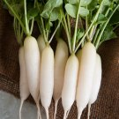 HEIRLOOM NON GMO White ICicle Radish 250 seeds