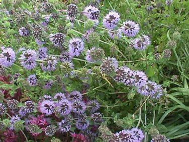 HEIRLOOM NON GMO Pennyroyal 50 seeds