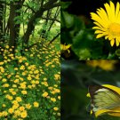 HEIRLOOM NON GMO Arnica (Leapards bane) 50 seeds