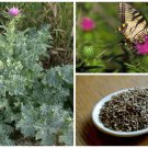 HEIRLOOM NON GMO Milk Thistle 50 seeds