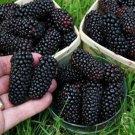 HEIRLOOM NON GMO Giant Blackberry 50 seeds