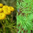 HEIRLOOM NON GMO Tansy 100 seeds