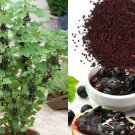 HEIRLOOM NON GMO Black Currant 100 seeds