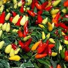 HEIRLOOM NON GMO Prairie Fire Ornamental Pepper 15 seeds