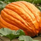 HEIRLOOM NON GMO Big Max Pumpkin 15 seeds