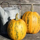 HEIRLOOM NON GMO Lady Godiva Squash 15 seeds