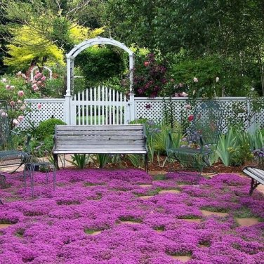 HEIRLOOM NON GMO magic Carpet Thyme 1000 seeds
