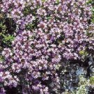 HEIRLOOM NON GMO Wild Thyme 1000 seeds