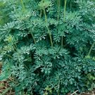 HEIRLOOM NON GMO Rue 100 seeds