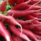 HEIRLOOM NON GMO China Rose Radish 50 Seeds