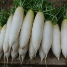 HEIRLOOM NON GMO Chinese White Winter Radish50 Seeds