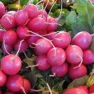 HEIRLOOM NON GMO Pink Beauty Radish 50 Seeds