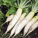 HEIRLOOM NON GMO Giant Japanese Minowase Radish 50 Seeds