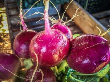 HEIRLOOM NON GMO Purple Plum Radish 50 Seeds