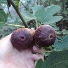 HEIRLOOM NON GMO Panachee (Tiger) Fig Tree 10 Seeds