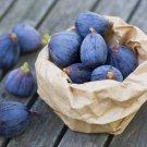 HEIRLOOM NON GMO Black Mission Fig 10 Seeds