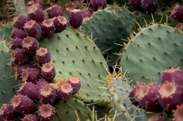 HEIRLOOM NON GMO Giant Fig Cactus 5 Seeds