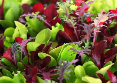 HEIRLOOM NON GMO Micro-greens Mix 500 Seeds (40 Varieties)