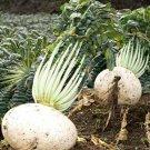 HEIRLOOM NON GMO Formosa Giant Luo Buo Radish 200 Seeds