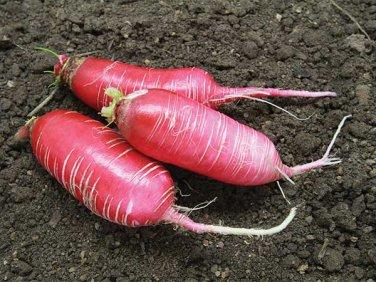 HEIRLOOM NON GMO Misato Rose Radish 200 Seeds