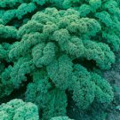 HEIRLOOM NON GMO Blue Curled Scotch Kale 100 seeds