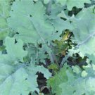 HEIRLOOM NON GMO Red Russian Kale 100 seeds