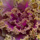 HEIRLOOM NON GMO Ornamental Fringed Kale Mix 100 seeds