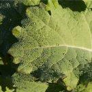 HEIRLOOM NON GMO Tronchuda Kale 100 seeds