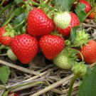 HEIRLOOM NON GMO Northern Sweet Strawberry 25 seeds