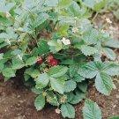 HEIRLOOM NON GMO Alexandria Strawberry 25 seeds