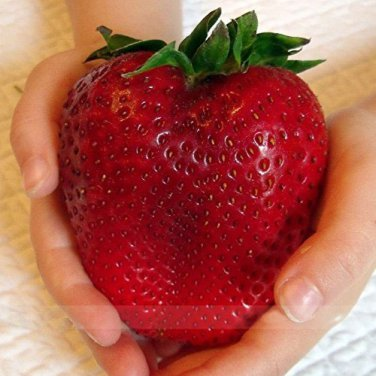 HEIRLOOM NON GMO Super Giant Japan Red Strawberry 25 seeds