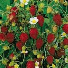 HEIRLOOM NON GMO Alpine Strawberry 25 seeds