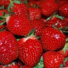 HEIRLOOM NON GMO Honeoye Strawberry 25 seeds