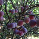 HEIRLOOM NON GMO  Beach Plum 5 seeds