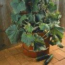 HEIRLOOM NON GMO Bushmaster Bush Cucumber 15 seeds
