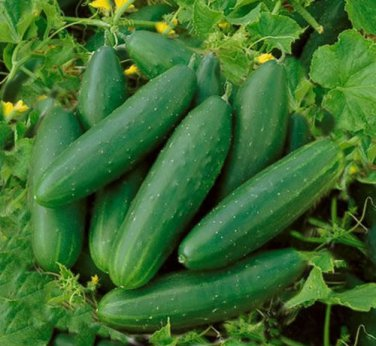 HEIRLOOM NON GMO Bush Crop Bush Cucumber 15 seeds