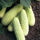 HEIRLOOM NON GMO Old Dutch White Cucumber 15 seeds