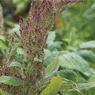 HEIRLOOM NON GMO Thai RW Tender Amaranth 25 seeds