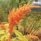 HEIRLOOM NON GMO Golden Giant Amaranth 25 seeds