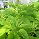 HEIRLOOM NON GMO Green Calaloo Amaranth 25 seeds