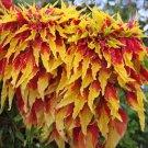 HEIRLOOM NON GMO Poinsettia Amaranth 25 seeds