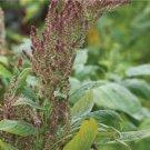HEIRLOOM NON GMO Thai RW Tender Amaranth 125 seeds