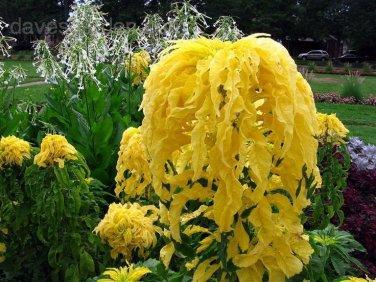 HEIRLOOM NON GMO Tricolor Aurora Yellow Amaranth 25 seeds