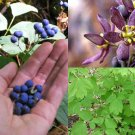 HEIRLOOM NON GMO Blue Cohosh 25 seeds