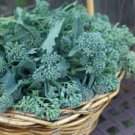 HEIRLOOM NON GMO Rapini broccoli 100 seeds