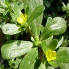 HEIRLOOM NON GMO Tall Green Purslane 50 seeds