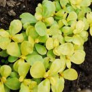 HEIRLOOM NON GMO Golden Purslane 50 seeds