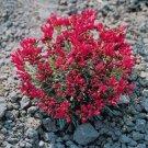 HEIRLOOM NON GMO Red Rock Purslane 50 seeds