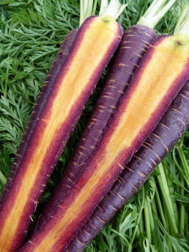 HEIRLOOM NON GMO Cosmic Purple Carrot 50 seeds